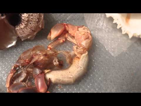 Hermit crab molting