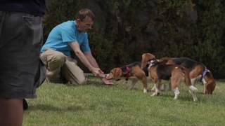 Beagles Rescued from a Laboratory Run Free for the First Time