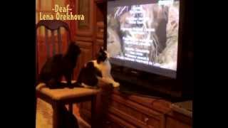 [Funny cats! Cats like to watch the TV] Video