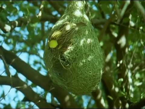 unireality - BBC Home Making: Weaver Bird