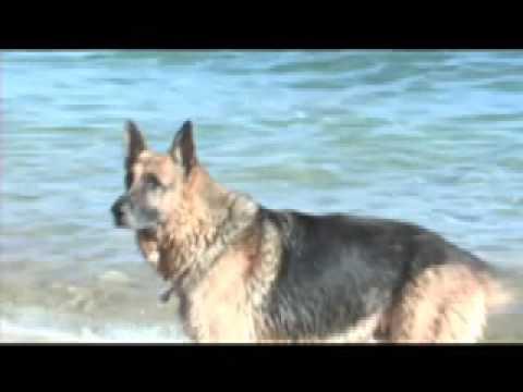 Yorkie attacks big dog world s biggest german shepherd youtube