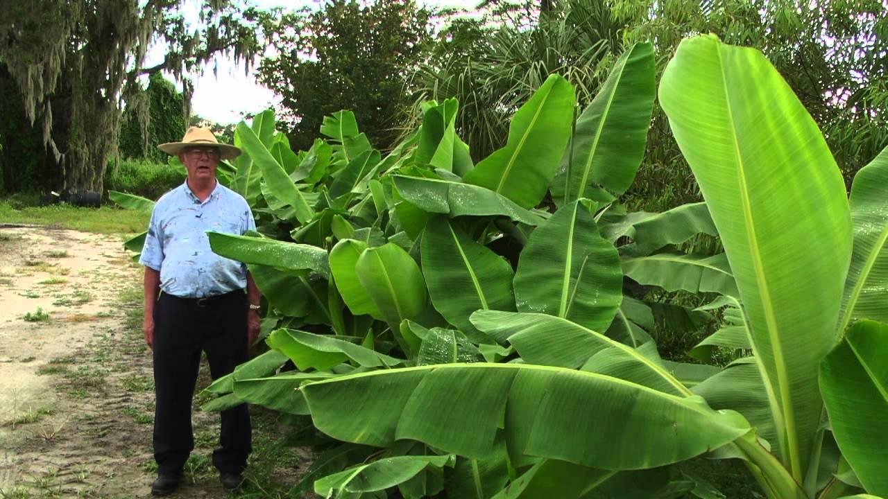 How To Grow Banana Trees Youtube