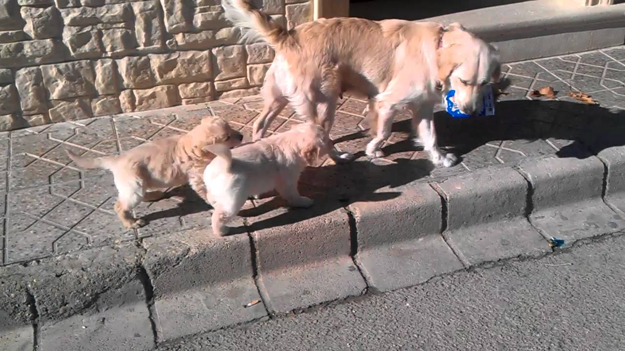 Cachorros golden retriever - YouTube
