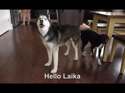 "Mishka says ""Hello Laika"" - Dog Talking"