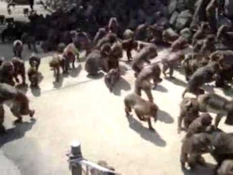 Totálně šílené krmení opic! :-O