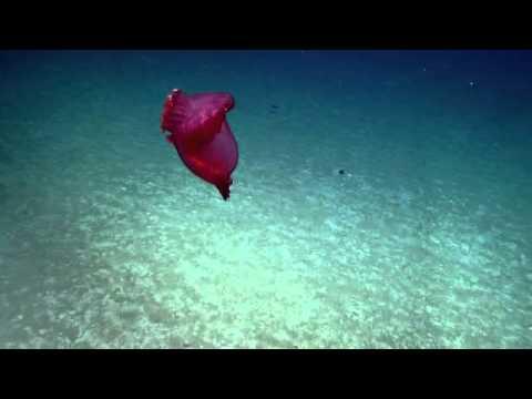 Amazing Sea Cucumber - E/V Nautilus Video  Bite - Puerto Rico 2013