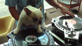Bulldog Scratching Vinil Like A DJ