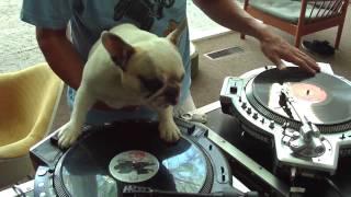 DJ MAMA and DJ Truly OdD scratch duet DJ doggy scratching french bulldog