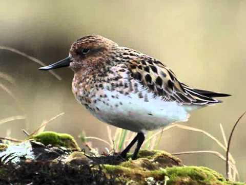 Spoon billed sandpiper