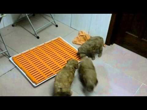 Huấn luyện các bé cún đi vệ sinh vào khay trong vòng 1 tuần .