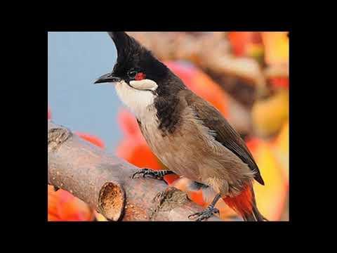 Luyện Chim hót giọng tự nhiên hay - Mới nhất