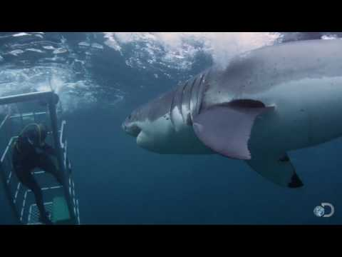 18-Foot Shark Attacks Cage | Great White Serial Killer - Shark Week 2013