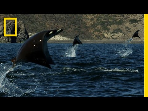 Untamed Americas – Gigantic School of Rays