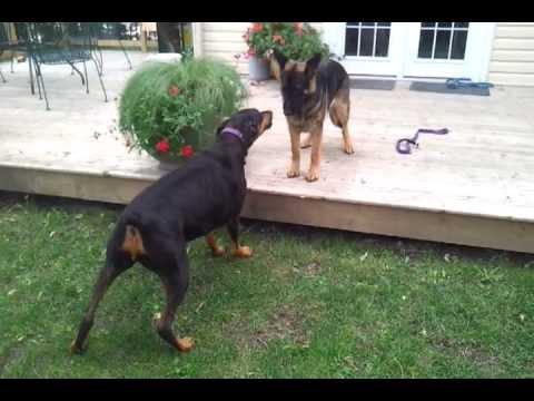 Doberman vs German Shepherd - YouTube