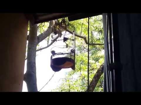 Chào mào bình định hót đấu với chim rừng ché khủng
