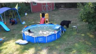 Family Of Bears Take Over Backyard Swimming Pool