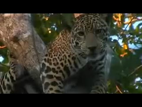 Master hound cat hunt - Jaguar - BBC Animals, The 'Stalking the Jaguar' team attempt to track the big wild cats with the use of hunting dogs. Contains images of dead animals some viewers may find disturbing. A heavily pregnant female is tagged and measured under sedation.