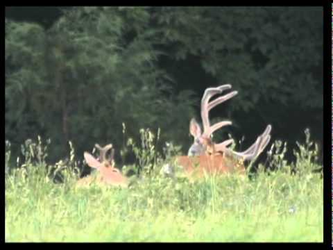 VELVET WHITETAIL BUCKS, Natures Beauty is Boundless PRIMAL DREAMS