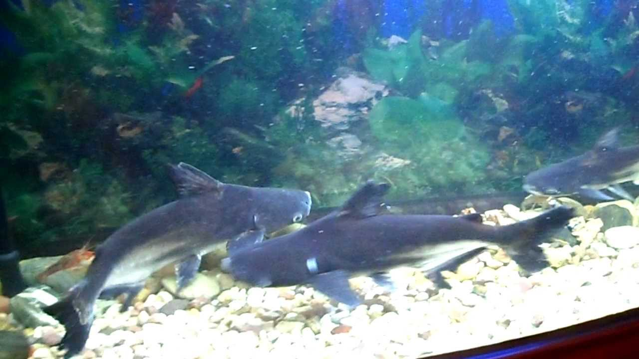 Freshwater tropical sharks