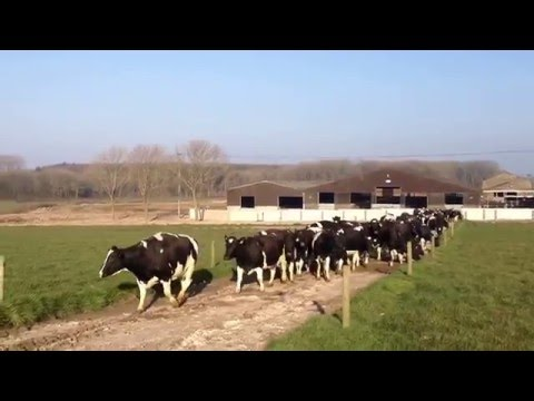 Cows see grass for the first time in 6 months...go mental!