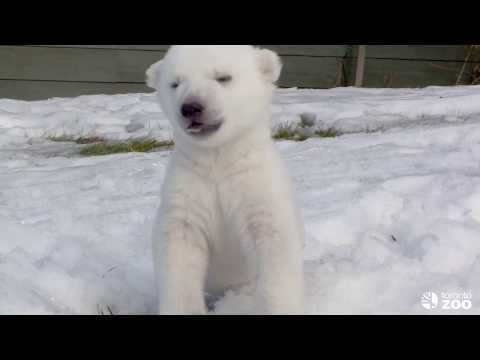 Polar Bear Cub Introduced to Snow for the First Time (Toronto Zoo)