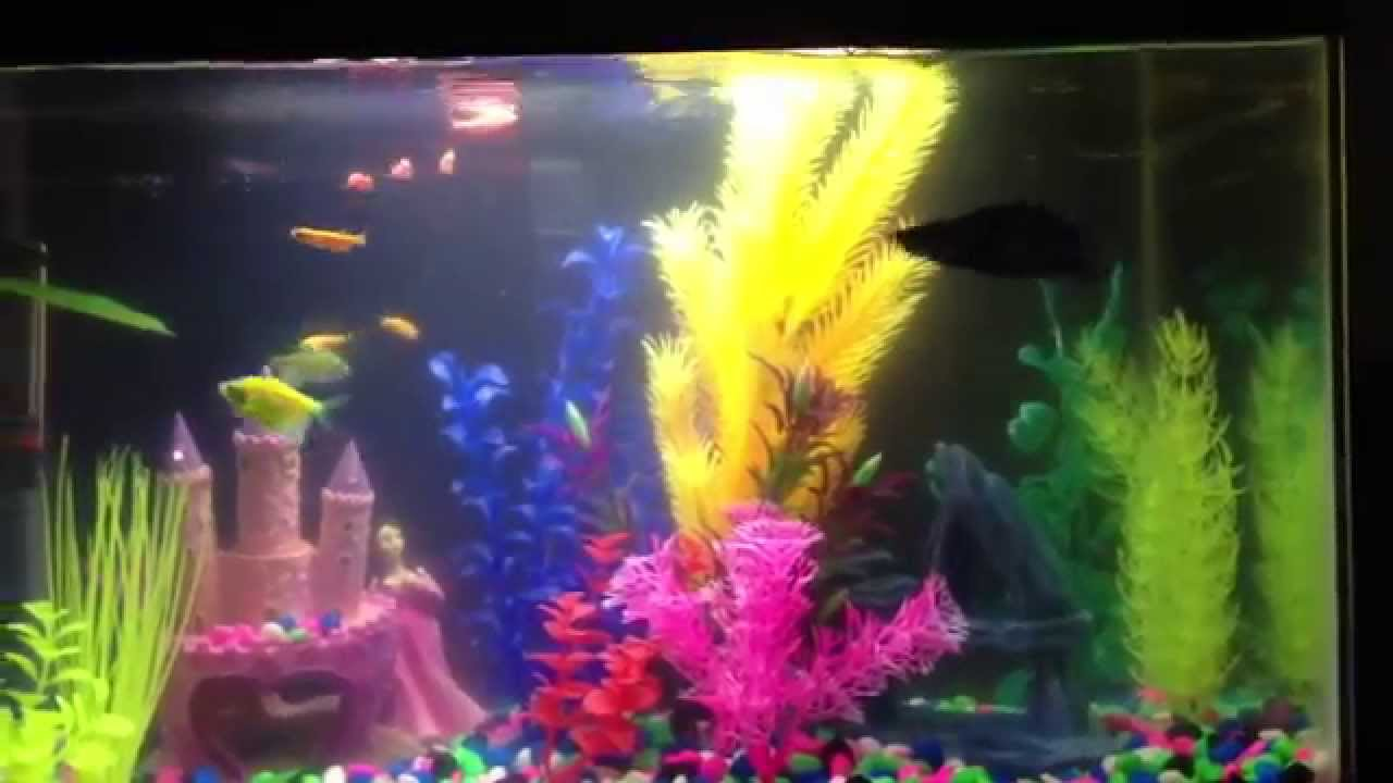 Betta fish living in harmony with other fish youtube for Can you put betta fish with other fish