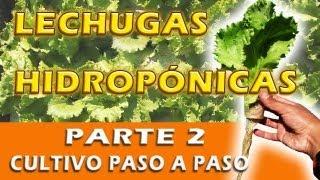 Lechugas Hidropónicas 2