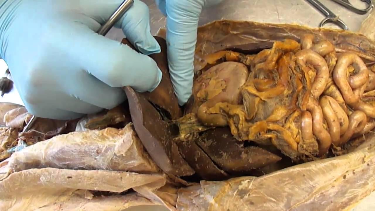G S C  Cat Dissection Internal Organs  Digestive System