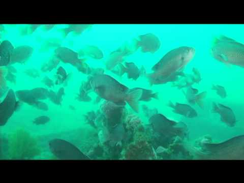 A couple of resident Giant Sea Bass and a fleeing torpedoray highlighted the dive, with Mola Molas at the surface
