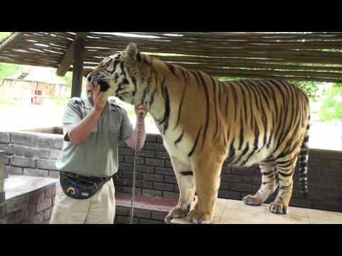 Feeding and Walking a Siberian Tiger