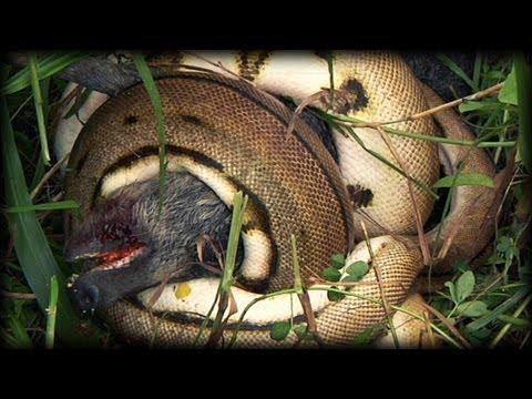 Python kills Pig