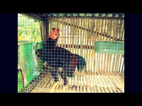 Ayam Bangkok UMUR 5 BULAN