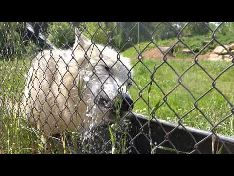 UK Wolf Conservation Trust: Arctic Wolves Playing with Water