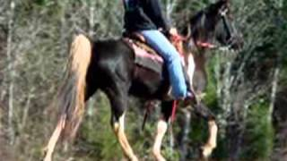 Smooth Classy Easy Gaited Tennessee Walker Trail Horse For