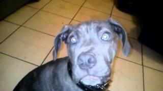 Duke. Cruza Mastin Con Pitbull Blue 4 Meses Bandog