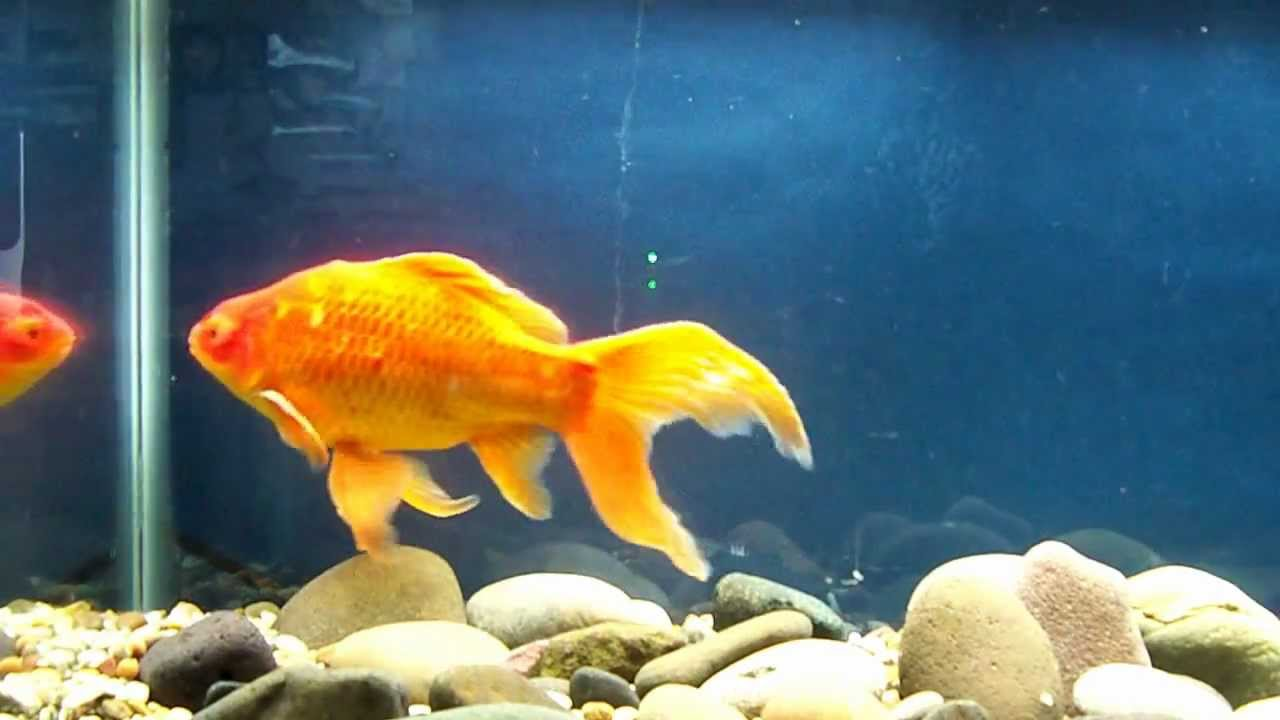 Mr grumpy the comet goldfish youtube for Google fish tank mrdoob