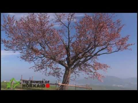 【The Power of Hokkaido】hokkaido_sakura