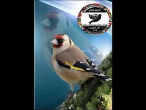 canaryfansclub - cd goldfinch songs - (chants) - شريط كامل تغريد مقاطع الحسون