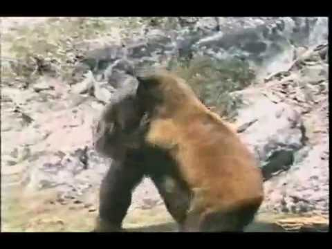 Bear vs Bigfoot - YouT...