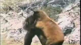 Bear Vs Bigfoot