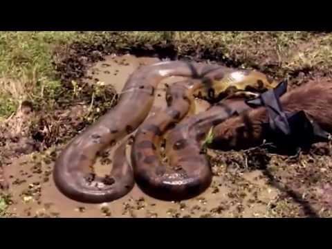 Cuộc truy lùng rắn khổng lồ ăn thịt người ghê sợ