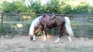 Golden Bronze Palomino Tennessee Walking Horse Stallion