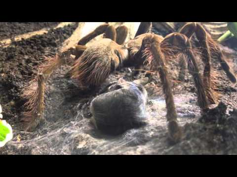 Goliath Bird Eating Spider - Weird Animals
