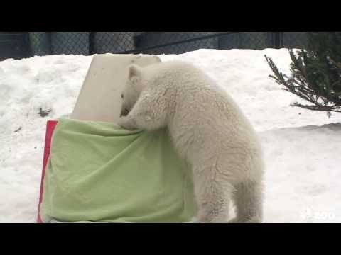 Toronto Zoo Polar Bear Cub Reveals Name