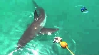 サメとエイのエサ争い