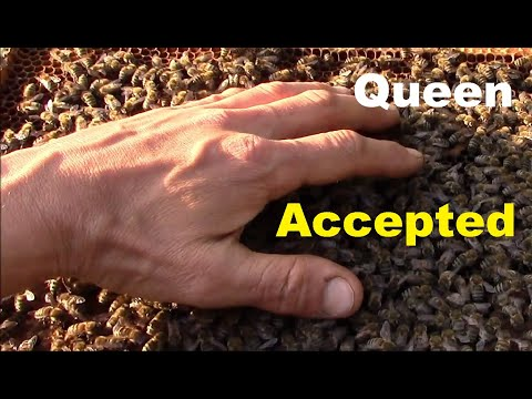 How bees behave when they accept the new queen bee. Releasing new queen.