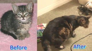 """Xem """"Bé Mập"""" Mèo Big Girl Nặng 22 Pounds (10 Ký) Của Chị Bí Đỏ/ Fat & Cute Cat"""