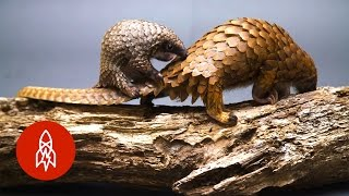 The World's Only Scaled Mammal Is ADORABLE
