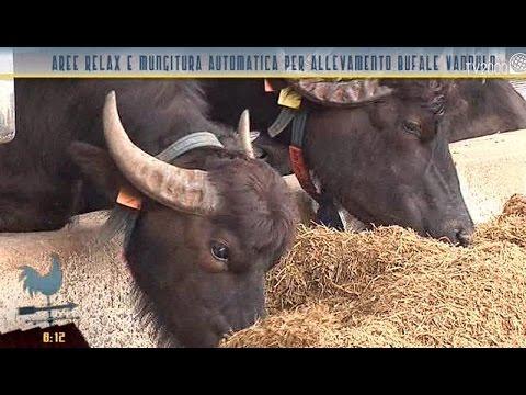Aree relax e mungitura automatica per le bufale dell'allevamento Vannulo