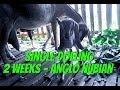 Cebu Goat Farm Australian Anglo Nubian Single Doeling